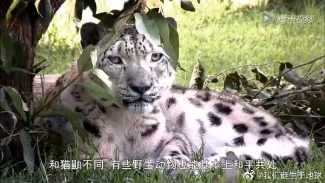 澳大利亚野生动物园给雄雪豹配种,搭飞机去悉尼见女朋友