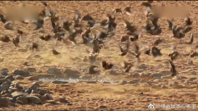 沙鸡为什么会把自己的巢穴安置在远离水潭的地方呢?