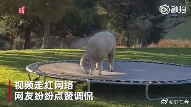 绵羊后院偷玩蹦床嗨翻天 网友:它可能是狗变的