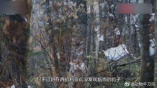 """罕见一幕!极危""""大猫""""远东豹,比东北虎更濒危,有中俄双重国籍"""
