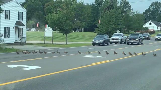 太有爱了!美国缅因州一群小鸭子横穿马路