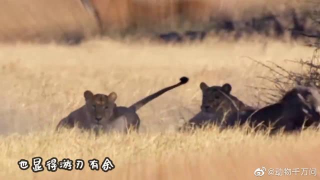 东北虎捕杀野猪王,不料被野猪打的满地找牙