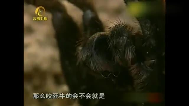自然密码:虎纹捕鸟蛛咬死了野牛?专家找了两天都没发现证据