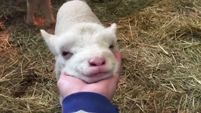 旅游:兵库县南淡路市淡路牧场公园,喝完奶后享受按摩的绵羊宝宝