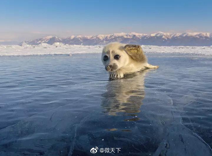 摄影师等了三年才拍到的海豹宝宝,萌化惹
