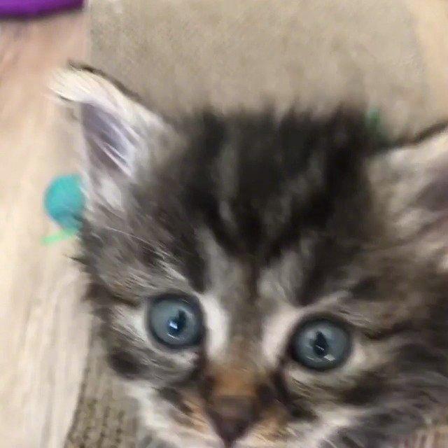 澳大利亚一处猫咪救助站经常会有小奶猫进来