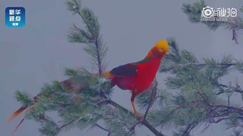 三门峡甘山国家森林公园内红腹锦鸡在雪中嬉戏打闹的场景!!