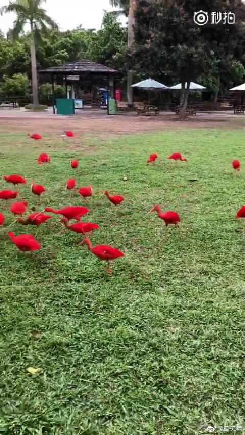南美洲红鹮,世界上最红的鸟,愿见者日子过得红火!