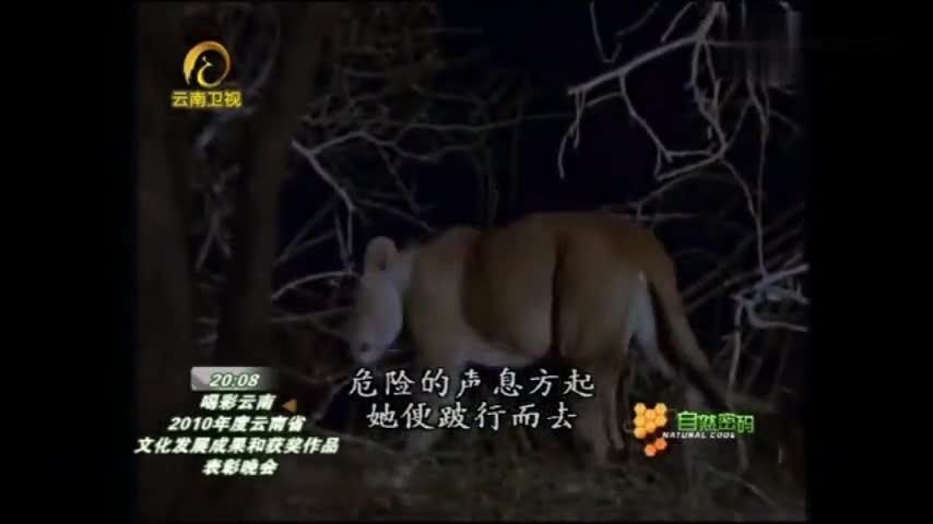 自然密码:幼狮才出生,就遇上鬣狗的袭击,残疾母狮只能弃它自保
