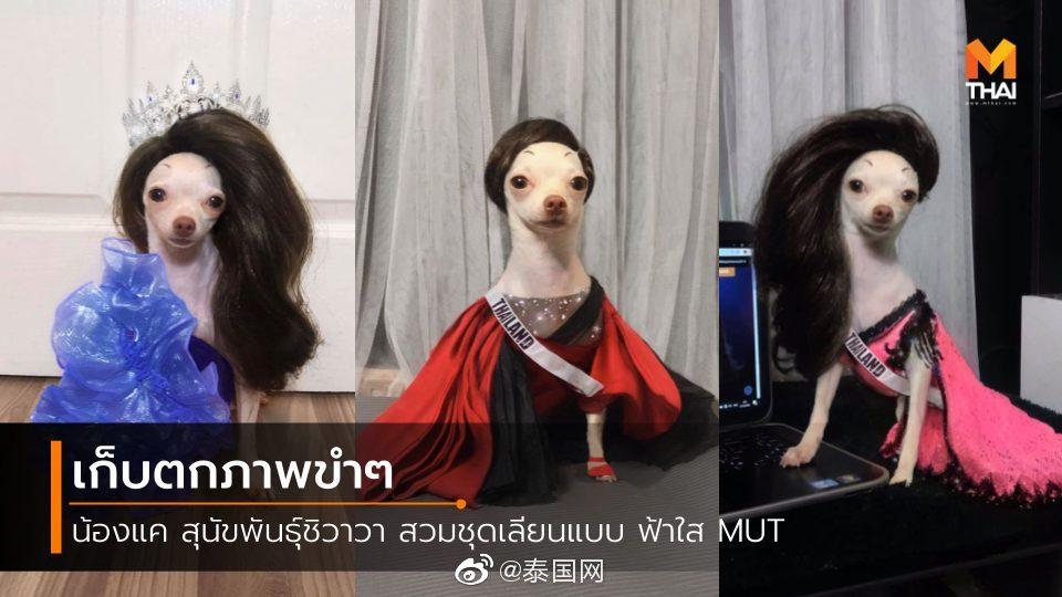 """""""泰""""美了~吉娃娃Cos泰国环球小姐"""