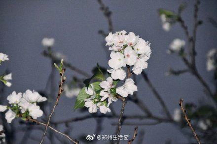 今天,武大樱花登上热搜,几株原本应在春天开花的樱花树