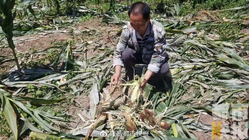 玉米地遭野猪偷袭 蓝田村民陷入两难:野猪不敢打 庄稼谁来赔