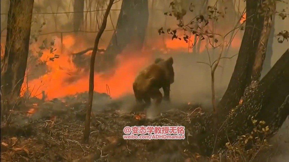 大火中勇救傻考拉澳洲发生森林大火