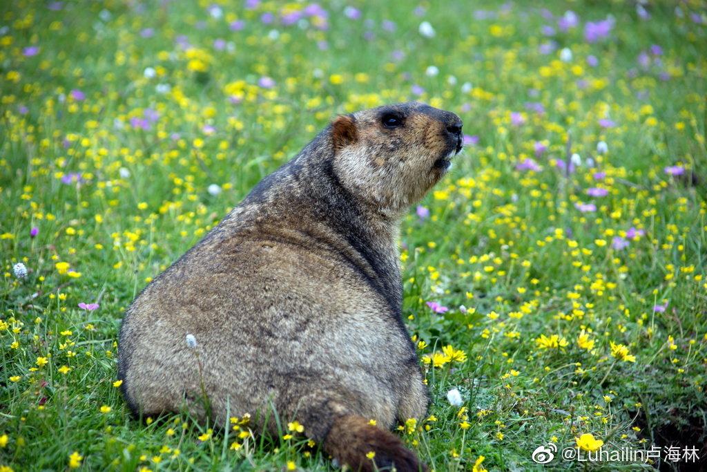 雪豬子自古就生活在丹巴金龍雪山下,是土地神的寵物