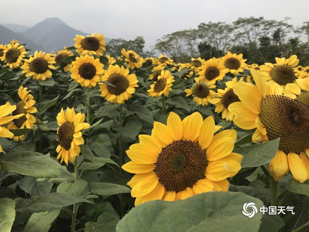 云南:元江太阳城的向日葵在太阳下绽放