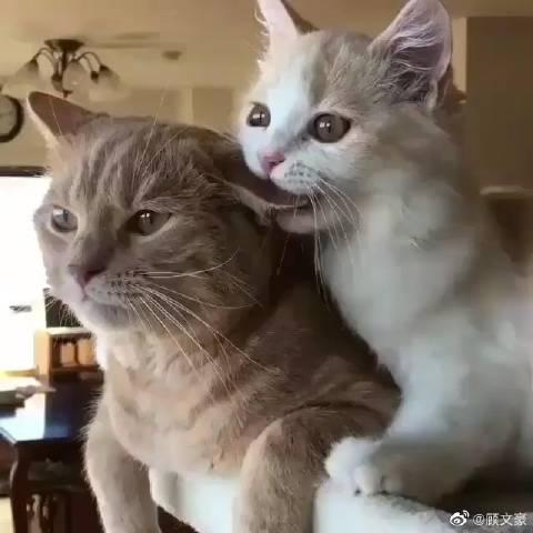 看看这对喵星人的小恩爱,雌猫为雄猫梳理毛发和,真是可爱哈!