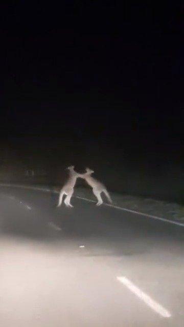 一位网友上传了一段在堪培拉公路上,目击两只袋鼠半夜打架的视频