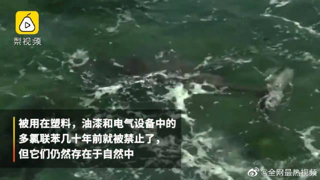 英吉利海峡附近的海豚体内污染水平达历史最高水平