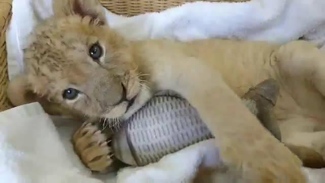 日本秋吉台动物园的小奶狮
