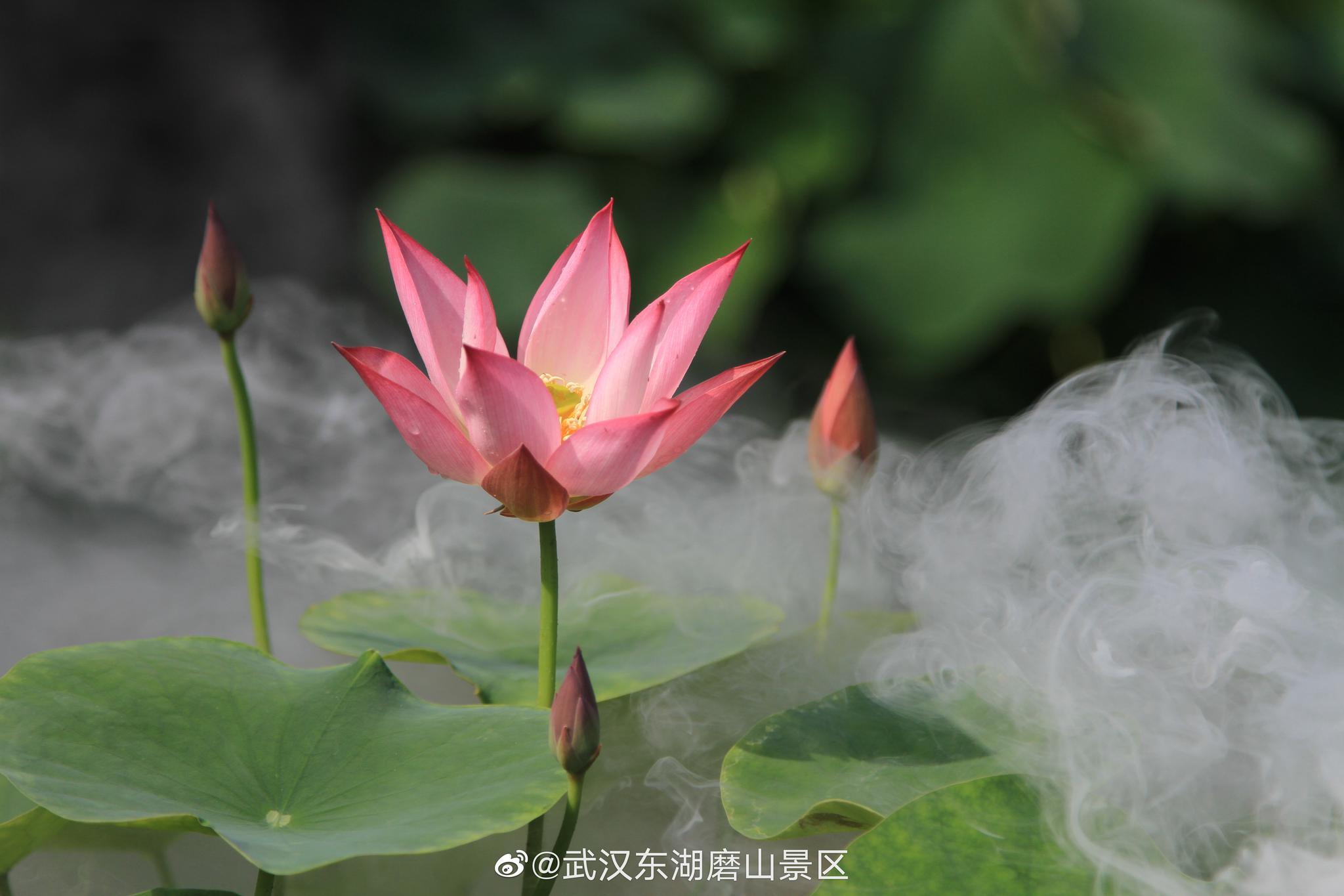 东湖磨山荷园的荷花开了~(图@武汉东湖磨山景区 )