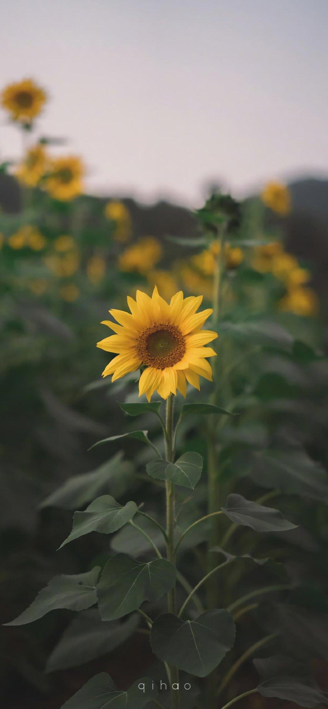 向日葵,风景治愈系唯美无水印手机壁纸哦