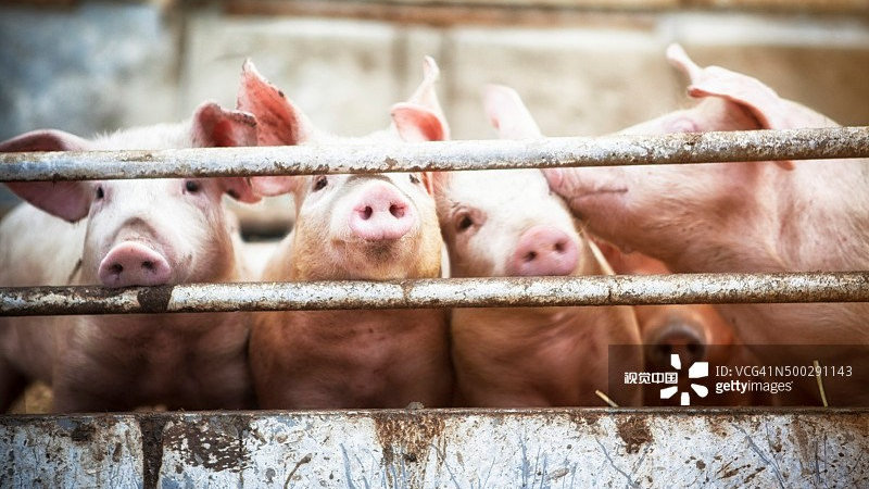 """广东一正规肉联厂""""洗白""""病死猪:19人被抓 涉事企业已停业整顿"""