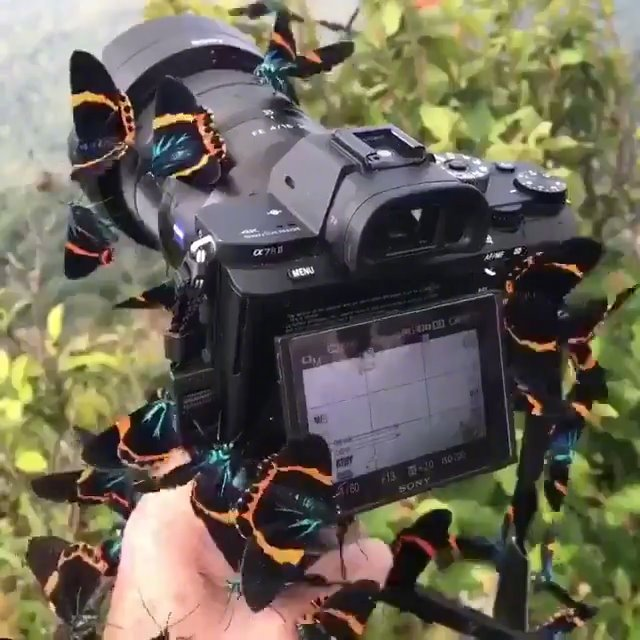 作为一个蝴蝶观测者感受到了冒犯——suhanamausam