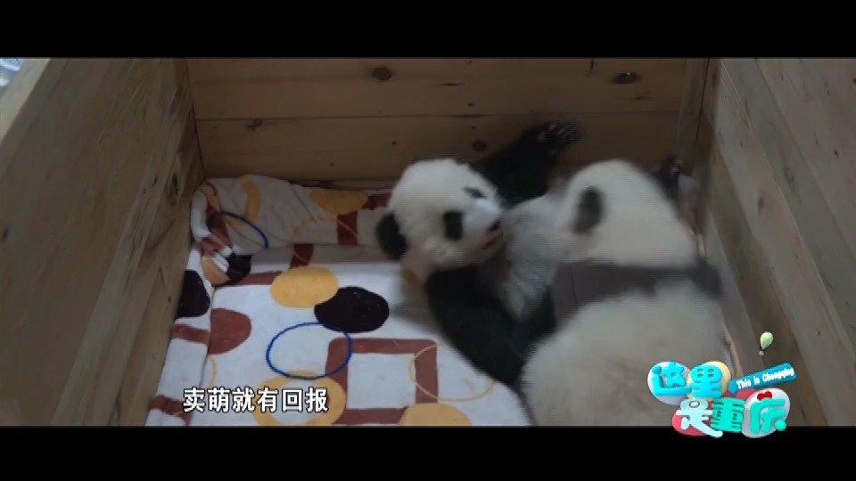 让我们一起探究大熊猫的进化史吧