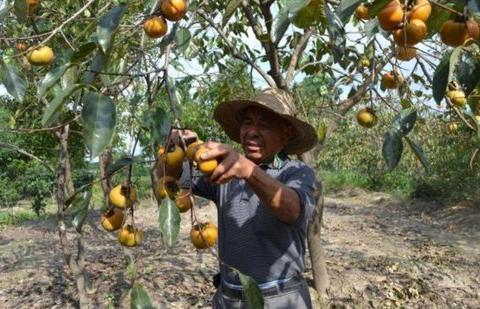 种一棵能吃百年,在南方是水果,在北方是粮食,晒成干价值更高