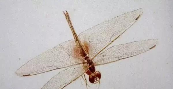 齐白石工笔蜻蜓,形象写实,能和照片媲美!
