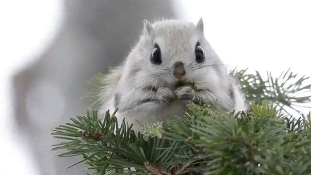 趣闻:北海道蝦夷小鼯鼠的吃播进行时,可爱疯了!!(twi