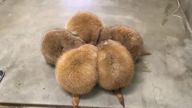 秋田县秋田市大森山动物园里有几只草原犬鼠
