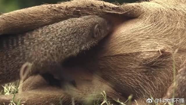 缟獴(拼音:gǎo méng)是一种在日间集体活动的小型哺乳动物