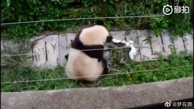 熊猫_我打架从来不问对方是几级保护动物