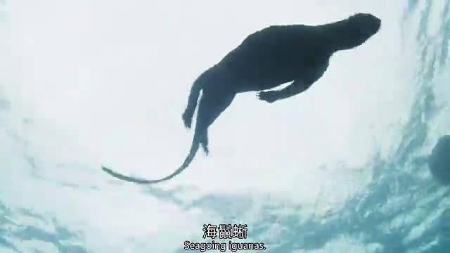 BBC《地球脉动》百条海蛇群体追杀一只海蜥蜴,只有十分钟
