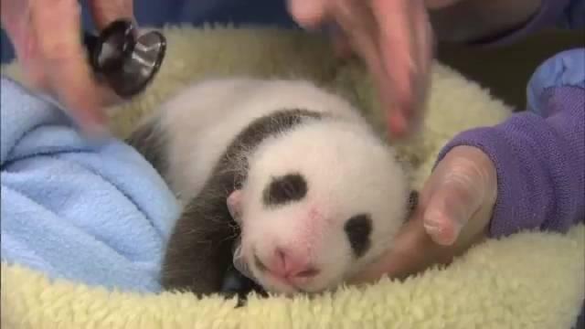 好可爱的熊猫宝宝,治愈系的宝宝。关注@热门表哥 观看更多热门视频