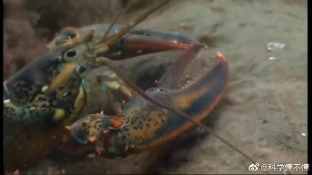 经过一个月的寻找,这只雌龙虾憋不住了,被迫争夺产床产卵