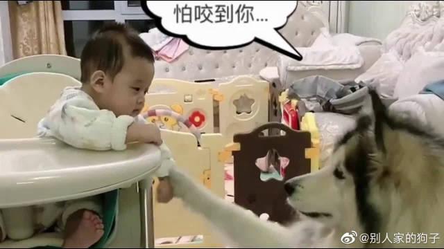 小宝宝喂狗狗吃东西,它小心翼翼的不敢吃,生怕伤到宝宝的手