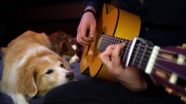 主人弹着吉他,狗狗就趴在他的腿边上静静听着