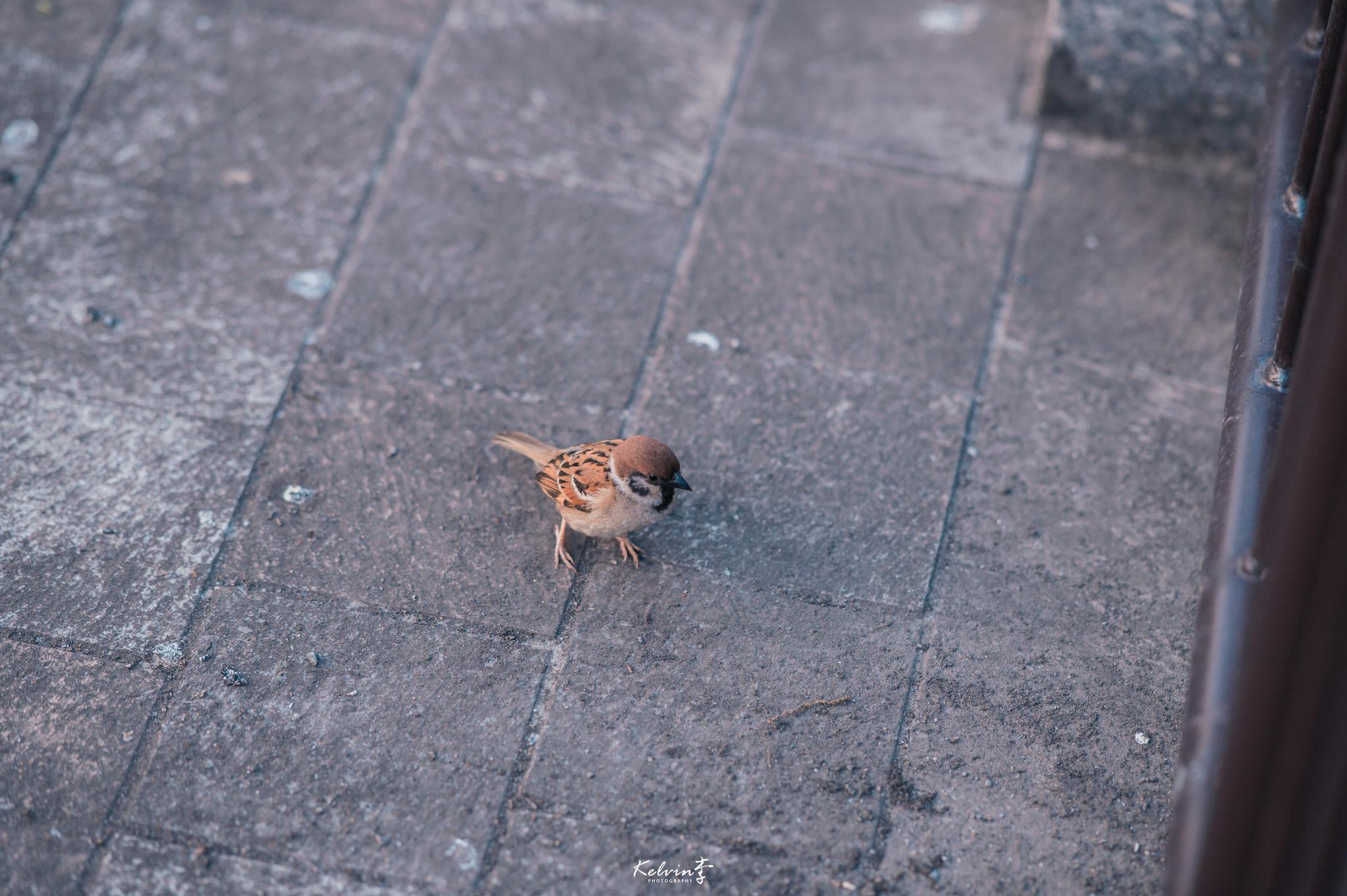 今天傍晚去了上野公园散步,遇到了一只跳来跳去不停找食的小鸟