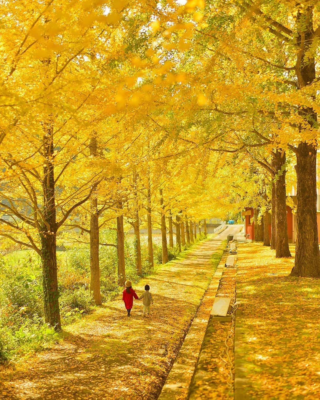 日本摄影师kaji_nori06镜头下的银杏!出镜的是他女儿!