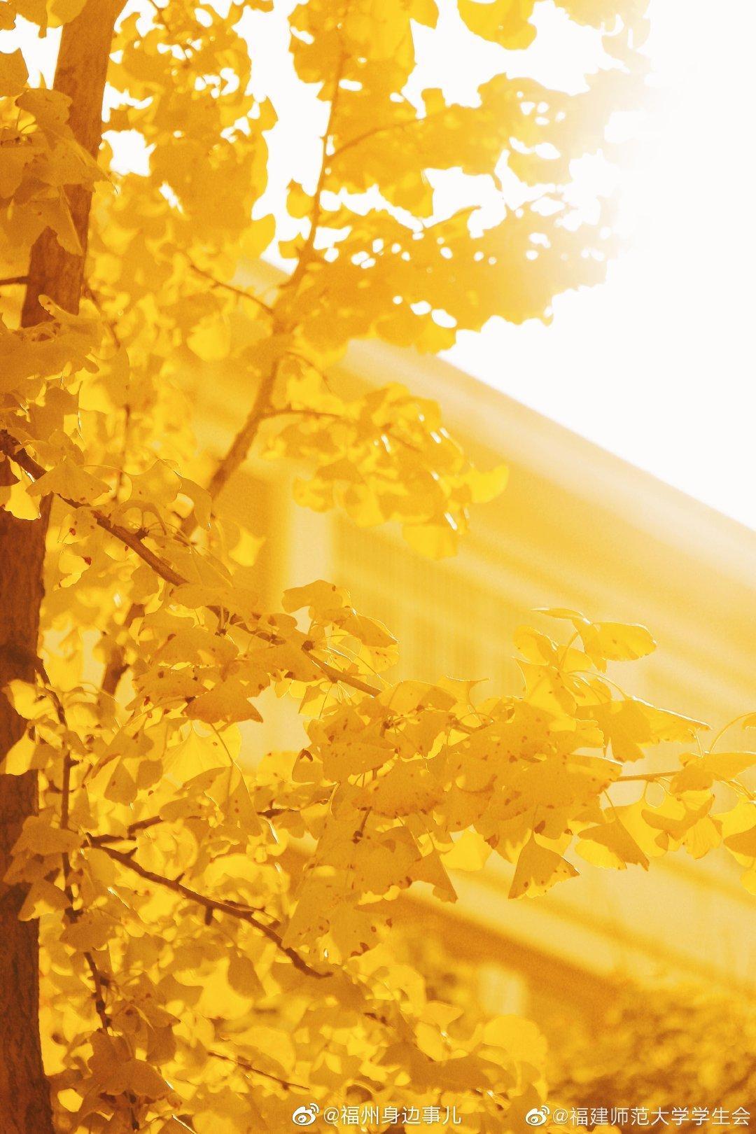 师大校园里金灿灿的银杏