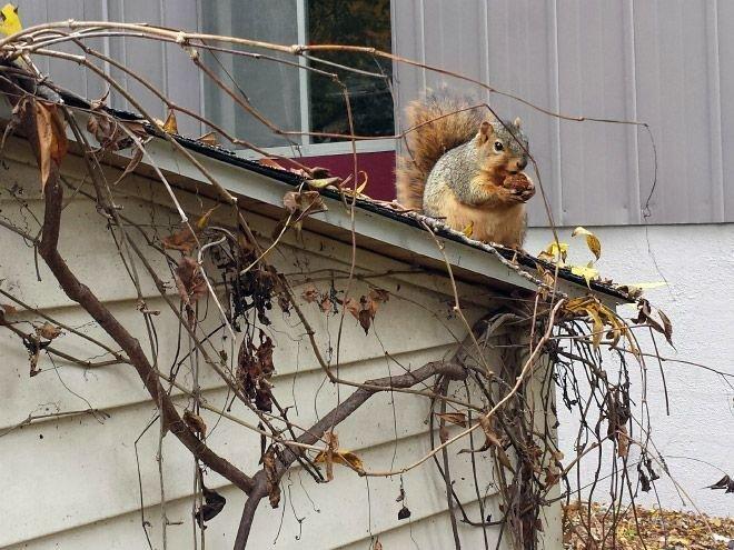 为了度过冬季,而吃太多的松鼠们~
