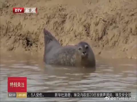生态环境改善 英国泰晤士河入海口海豹数量回升