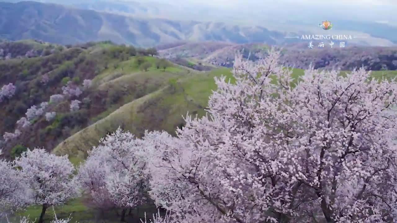 远离海洋的杏花长廊 | 新疆是中国杏林的最大分布区,每年四月