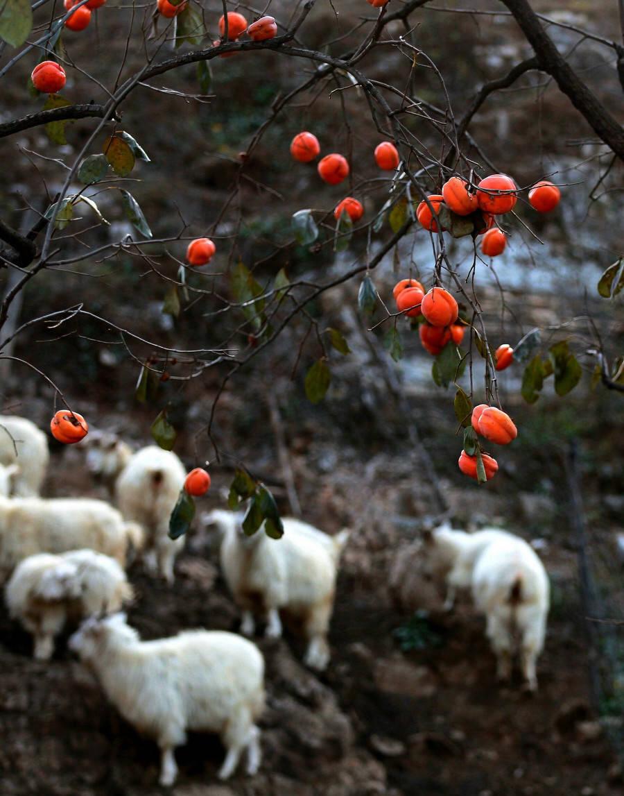 霜做晴寒策策风,野鸟相呼柿子红!柿柿如意,真的好美~
