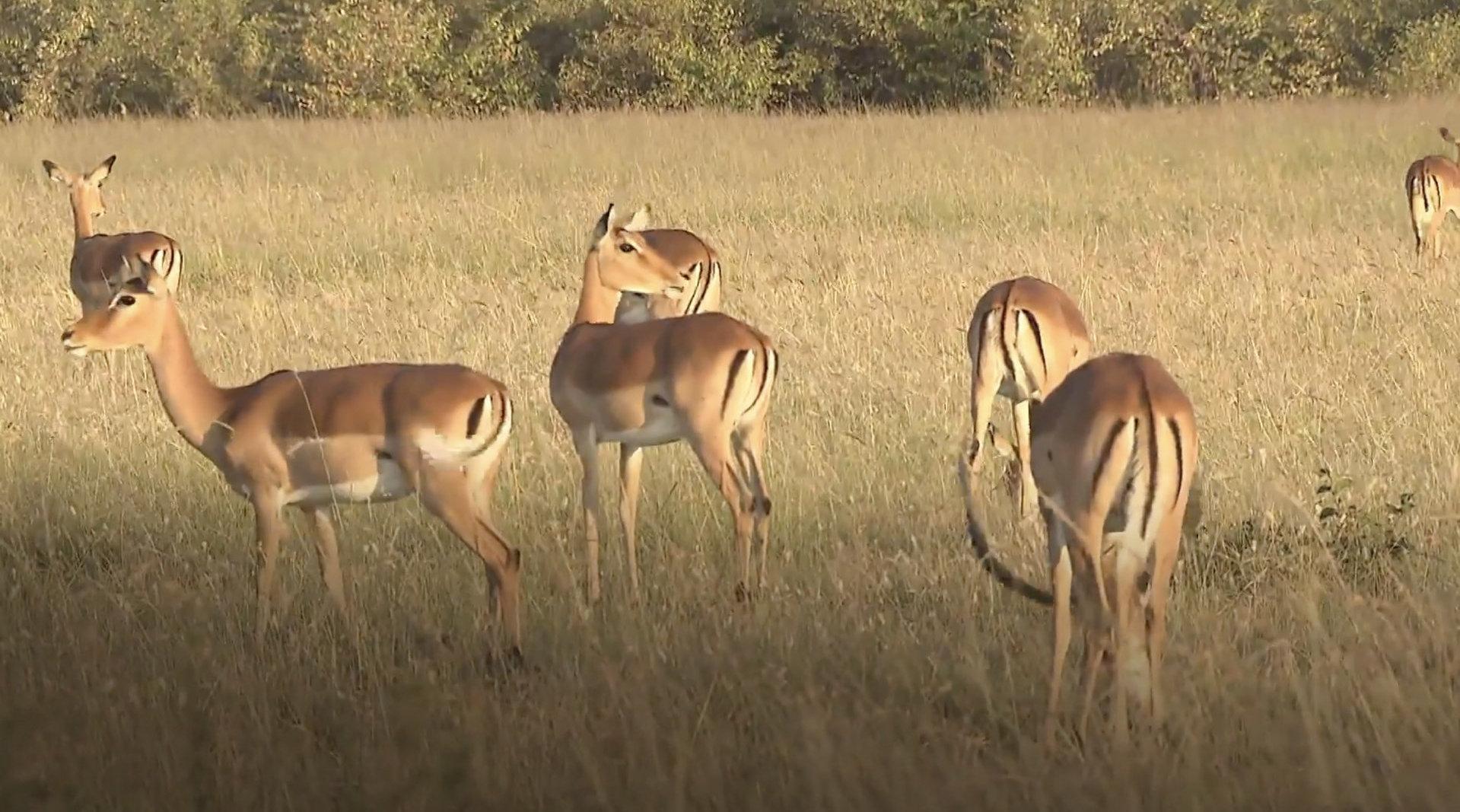 坦桑尼亚塞伦盖蒂草原上的角马大迁徙已经开始啦