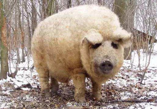 世界上有一种猪叫卷毛猪,顾名思义这种猪有着又卷又柔软的毛发