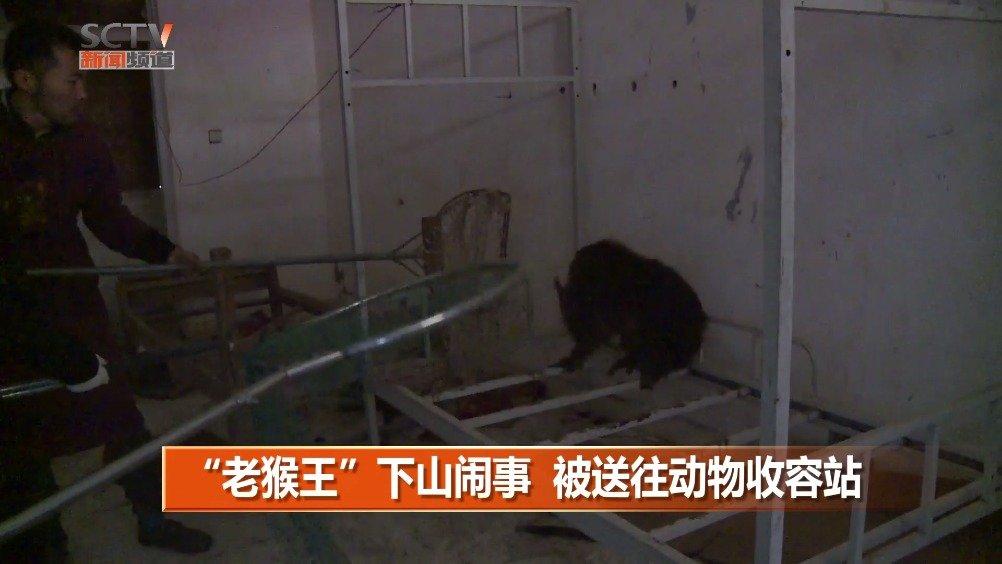 """德阳  :""""老猴王""""下山闹事  被送往动物收容站"""
