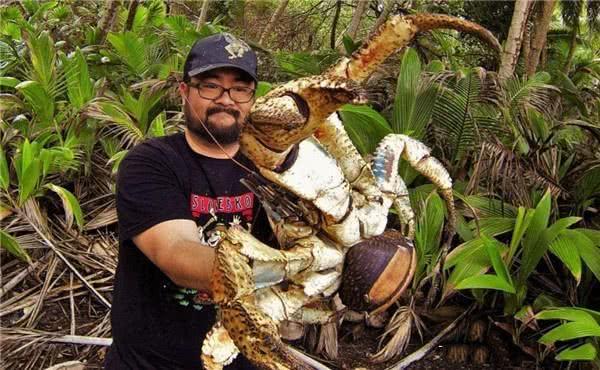 被吃到快要灭绝的螃蟹,比帝王蟹还大却不会游泳,扔水里会被淹死
